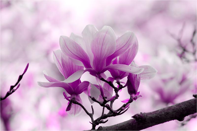 20120323_magnolia_06.png