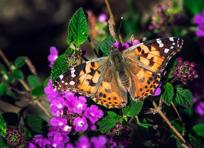 Butterfly2a.jpg