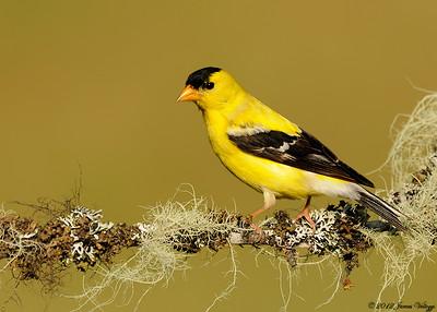 American Goldfinch, Carduelis tristis