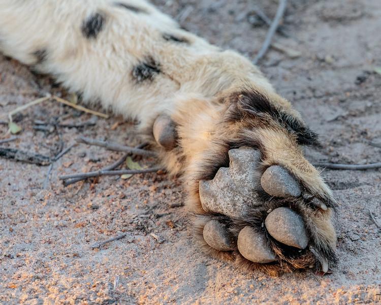Cheetah's paw