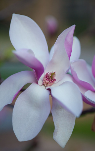 magnolias 13 9230