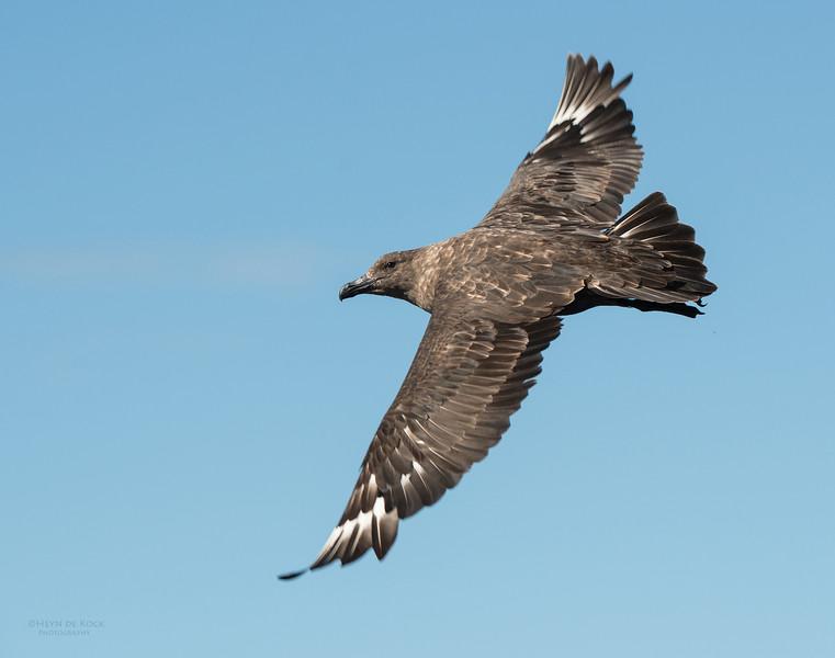 Brown Skua, Wollongong Pelagic, NSW, Aus, Sept 2012.jpg