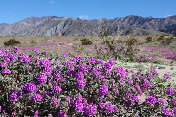 California Desert Super Bloom 2019