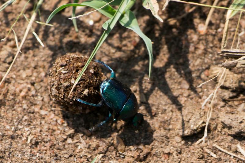 Dung Beetles-1.jpg