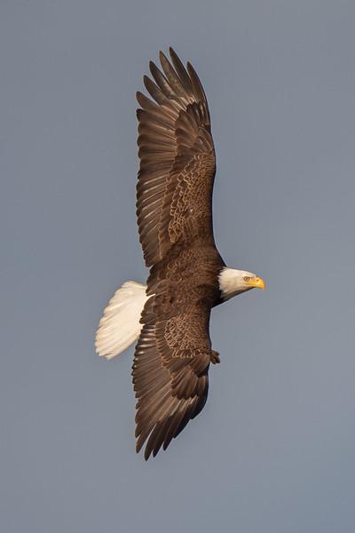 #1603 Bald Eagle