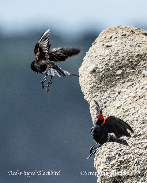 _DSC9904Red-winged Blackbirds.jpg