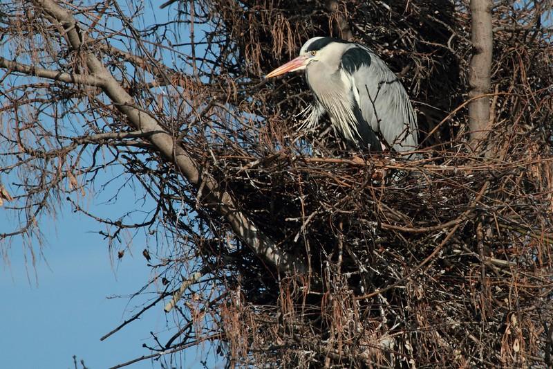Reiher (Heron) - Alte Donau