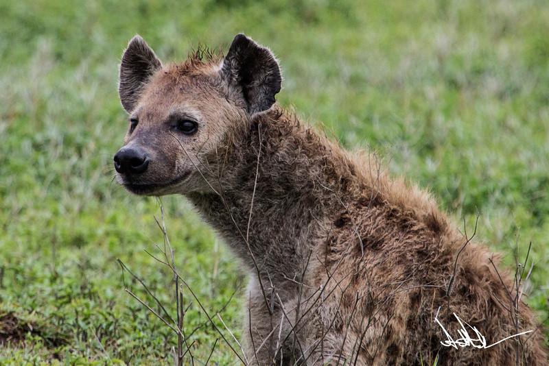 Hyena-Jackel S-4.jpg