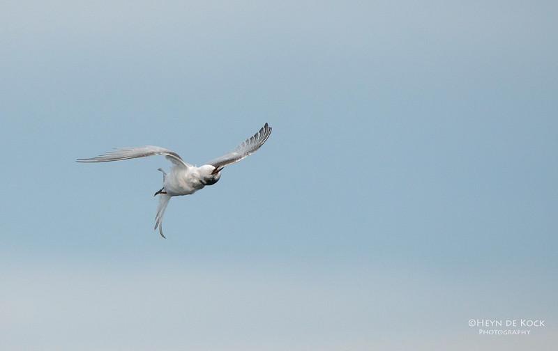White-fronted Tern, Wollongong Pelagic, NSW, Aus, Jul 2013.jpg