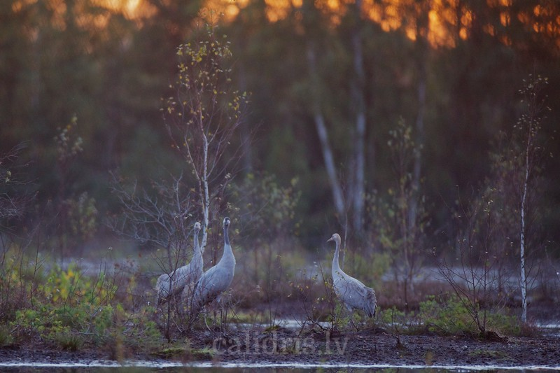 Common Cranes in the marsh: adult and 2 juveniles