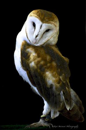 Owls & Peregrine Falcons