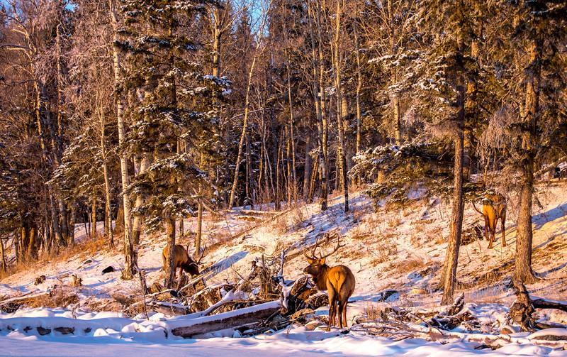 Waskesiu Elk Landscape 12-28-19.jpg