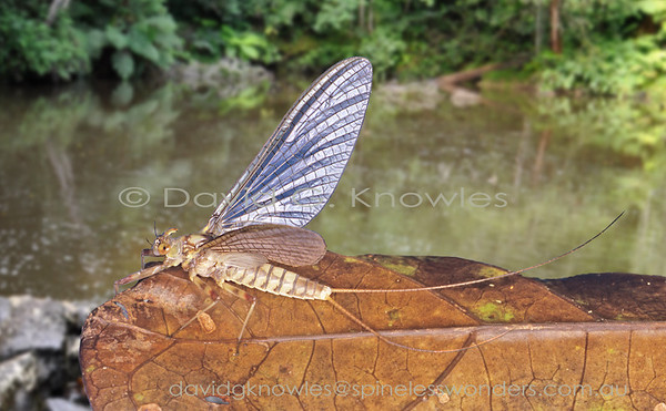 South East Asian Ephemeroptera (Mayflies)