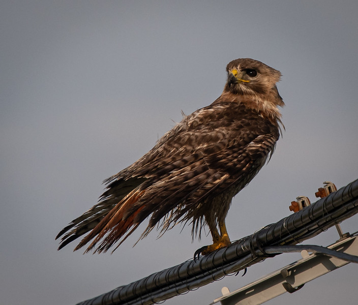 """Red-Tail Hawk """"Scrappy"""" looking back"""