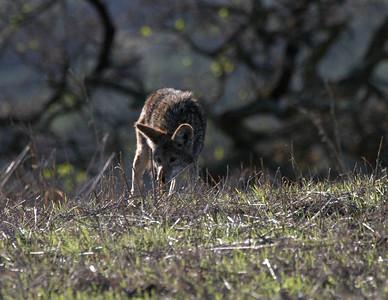 Coyotes Arastradero