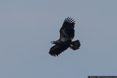 Bald Eagles of Centerport