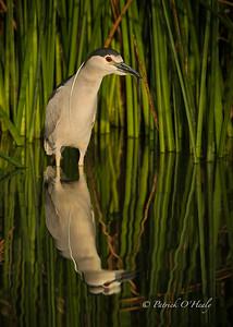 Egrets & Herons