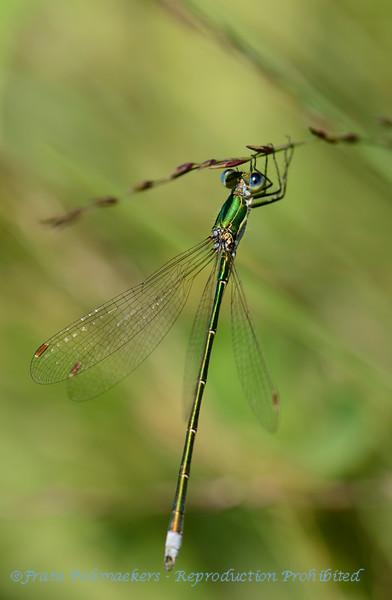 Tengere pantserjuffer; Lestes virens;  spreadwing; Small emerald spreadwing; Kleine Binsenjungfer; Leste verdoyant