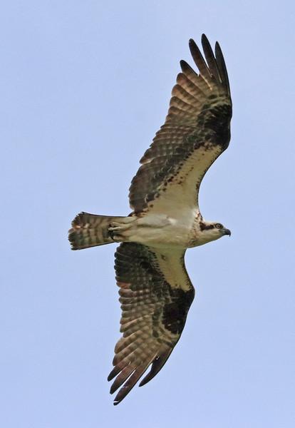 osprey 199.jpg