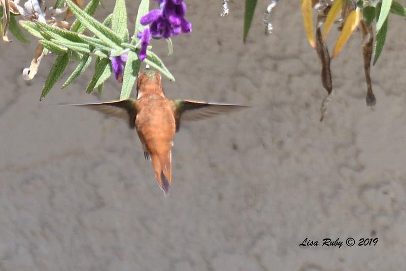 Rufous Hummingbird - 4/23/2018 - Backyard Sabre Springs
