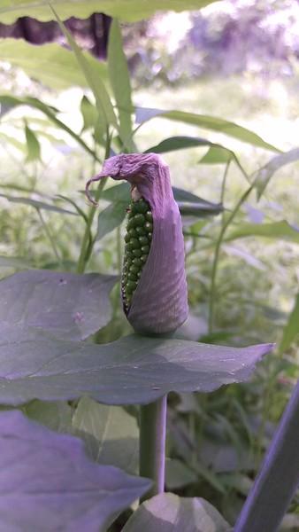 Green Dragon - A Unique Plant at BVNA