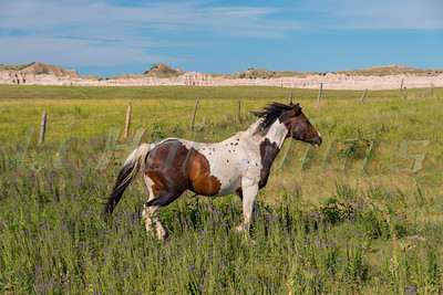 8/9/2016 Horses on the Pine Ridge Indian reservation