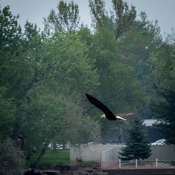 20170509-Bald Eagle-PMG_5317.jpg