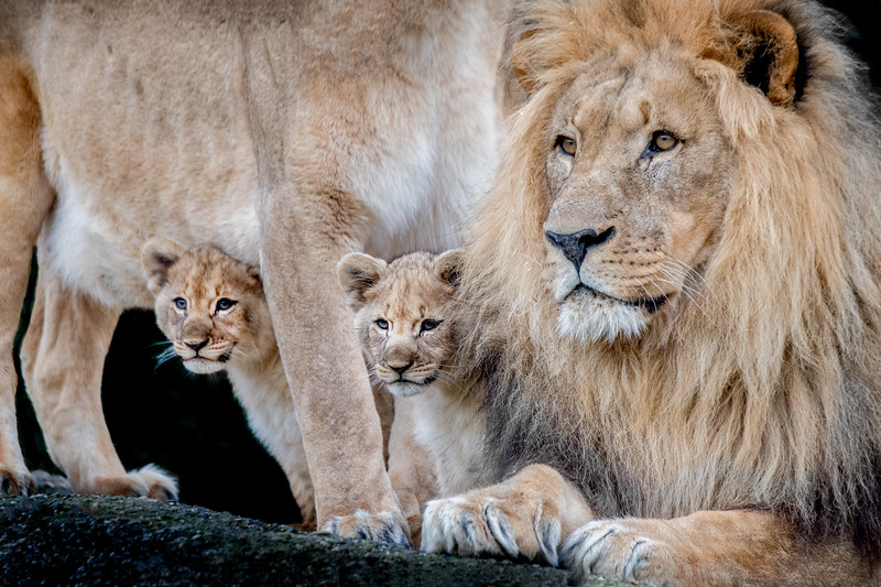 Lion family closely together