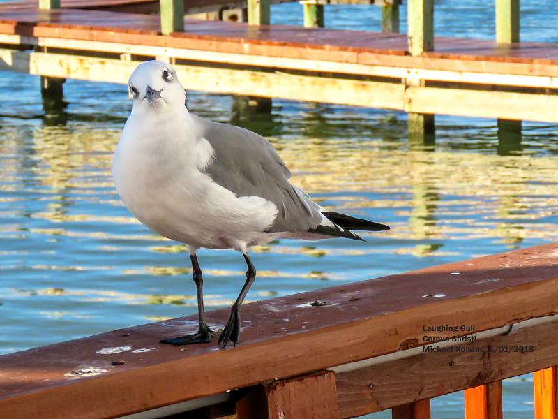 IMG_1749 3T Laughing Gull Corpus Christi.jpg