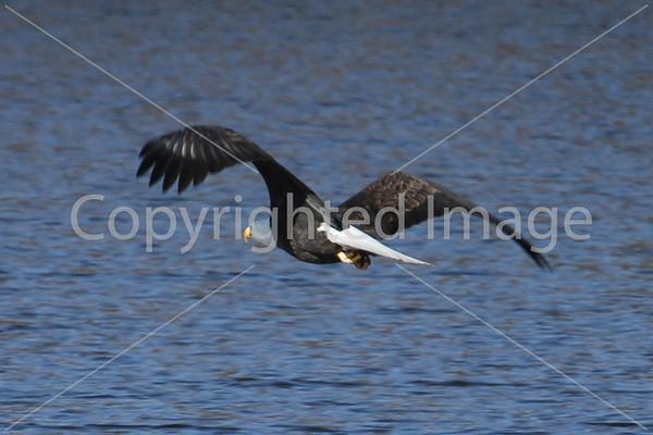 2011 Bald Eagles at Pawnee Lake