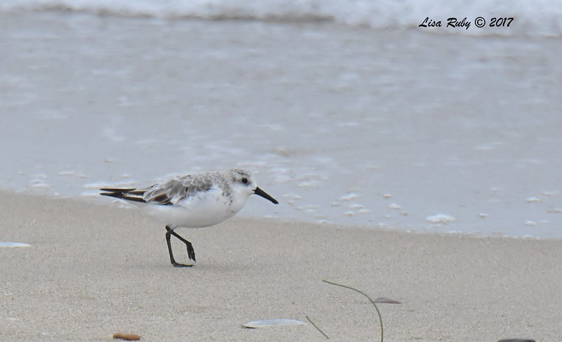 Sanderling - 8/27/2017 - Imperial Beach, walk to river mouth