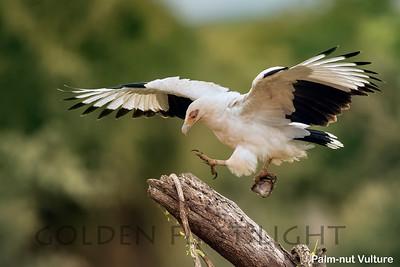 Palm-nut Vulture, Kenya