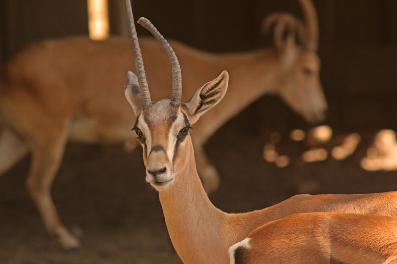 Springbok, Safari West