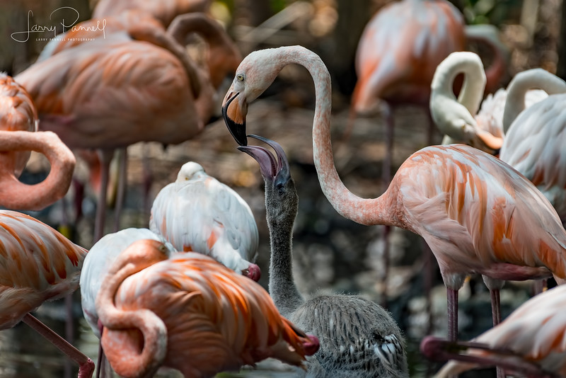 American Flamingo and Chick