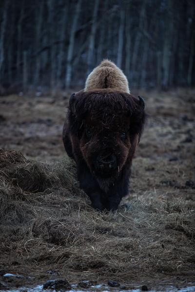 AHP171212_buffalo1410.jpg