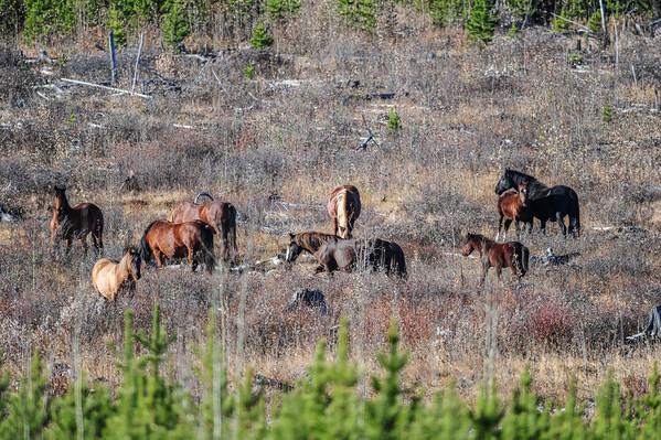 10 2013 Oct 21 Alberta Wild Horses Many Bands*^