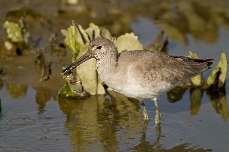 Willet eating a fiddler crab