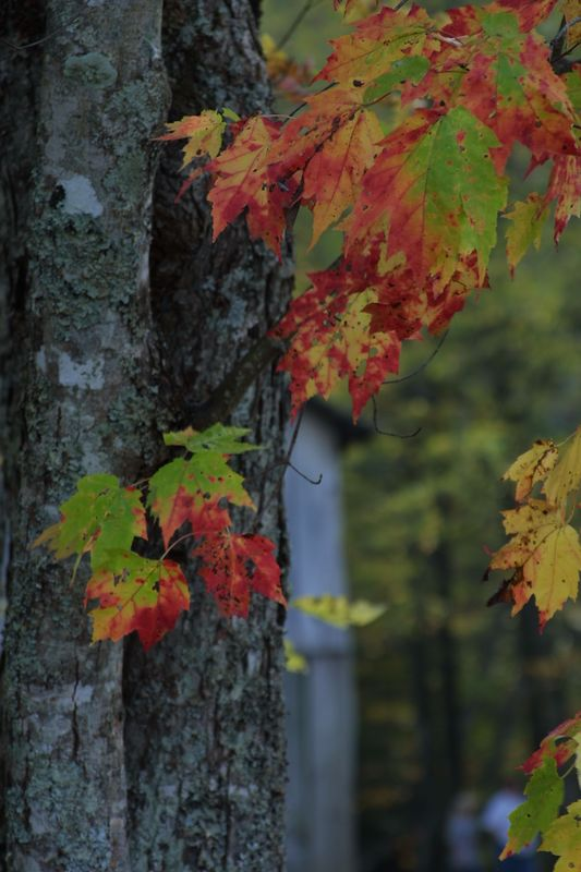 Maple..Oct 2004 at Cable Mill...Cades Cove