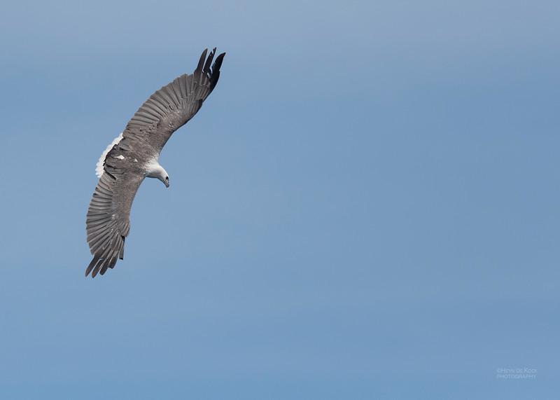 White-bellied Sea-eagle, Eaglehawk Neck Pelagic, TAS, Dec 2019-2.jpg