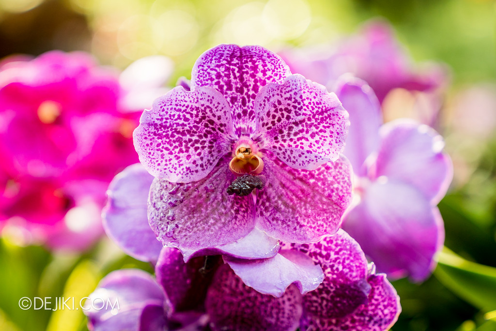 Gardens by the Bay Flower Dome - Orchid Extravaganza Floral Display 2017 / Grande Pink