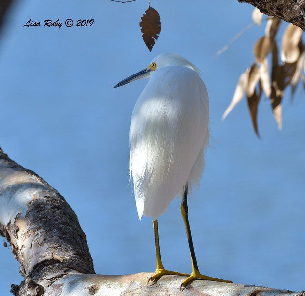 Snowy Egret  - 9/13/2019 - Lake Murray