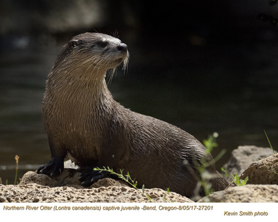 Northern River Otter AC27201.jpg