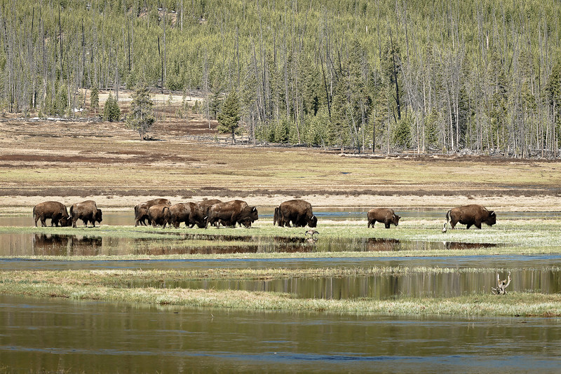 Wet Meadow Bison