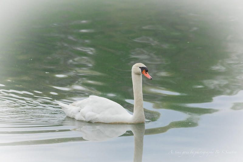 mute swan signed-38.JPG