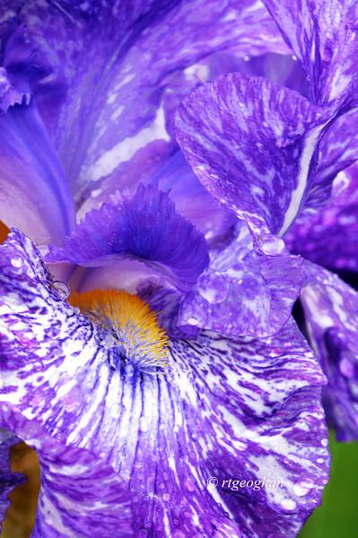 Bearded Iris Purple Streaker