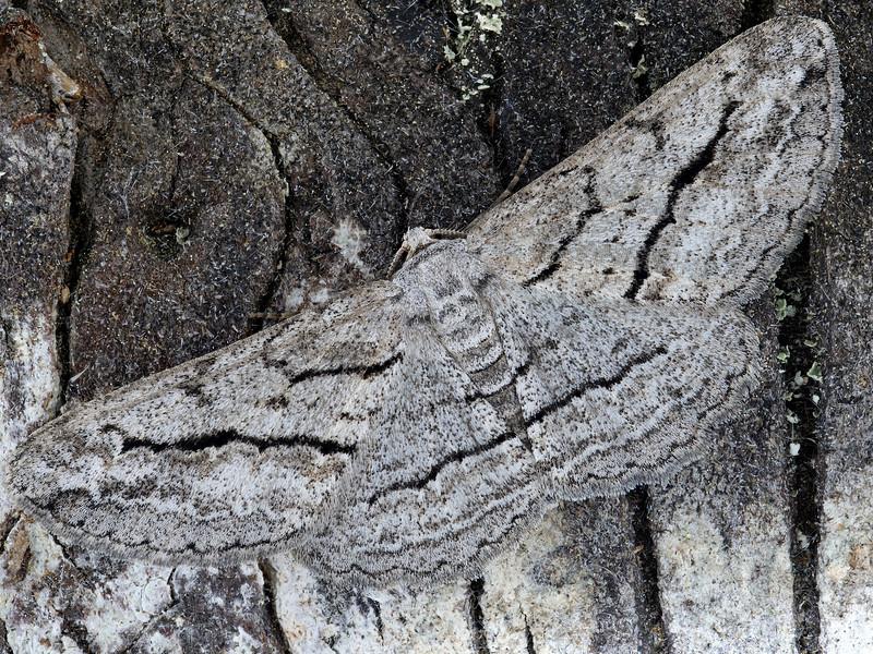 Stenoporpia pulmonaria dejecta Moth
