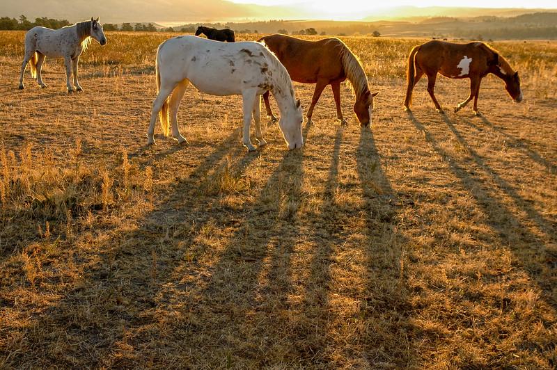 Backlit Wild Horses Grazing #5