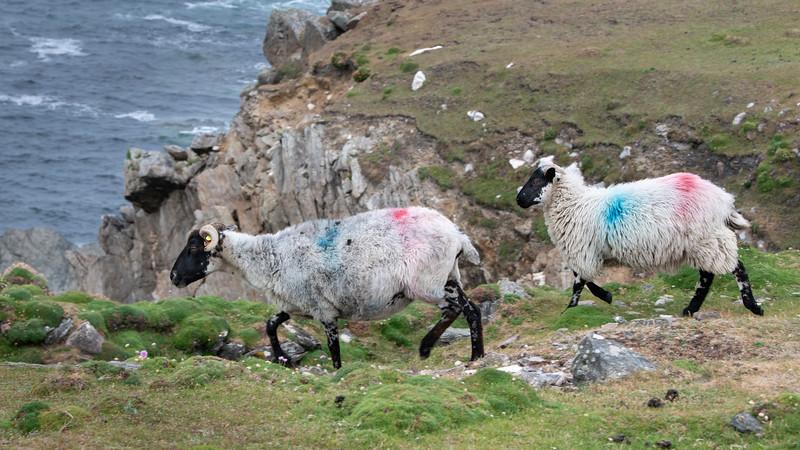 Sheep along the coast, Achill Island, County Mayo, Ireland