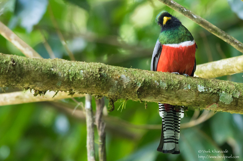 Collared Trogon - Male - Blanchiseusse Rd, Trinidad