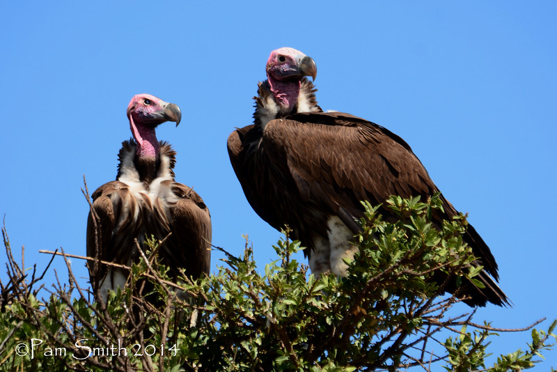 Lappet-faced Vultures